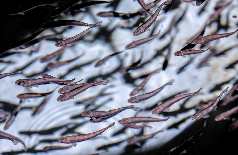 Thousands of Cortland brown trout fry at Kensington State Fish Hatchery, 120 Old Hatchery Road, Kensington on April 1. Photos by Dave Zajac, Record-Journal