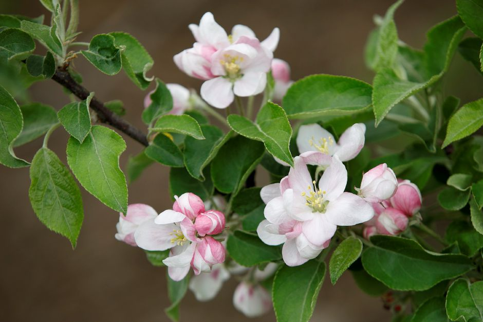 Apple blossoms are seen here Friday on a tree off South Street at Lyman Orchards in Middlefield. The apple blossom season is earlier this year because of the mild winter weather. Photos by Dave Zajac, Record-Journal