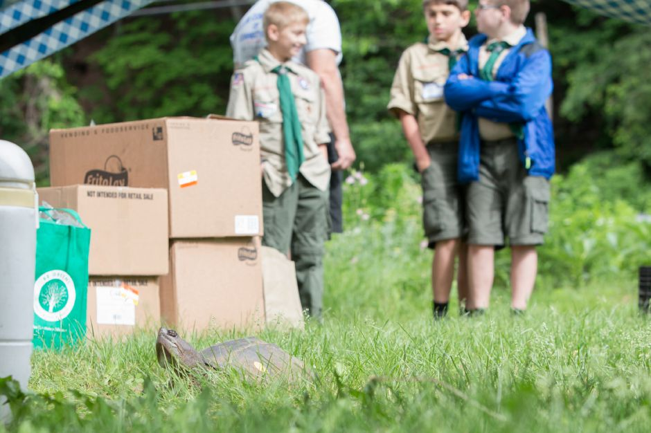 Members of the boys scouts watch as a snapping turtle returns to the water Sunday during the Quinnipiac River Trail celebration at the Quinnipiac River Watershed in Meriden May 31, 2016 | Justin Weekes / Special to the Record-Journal