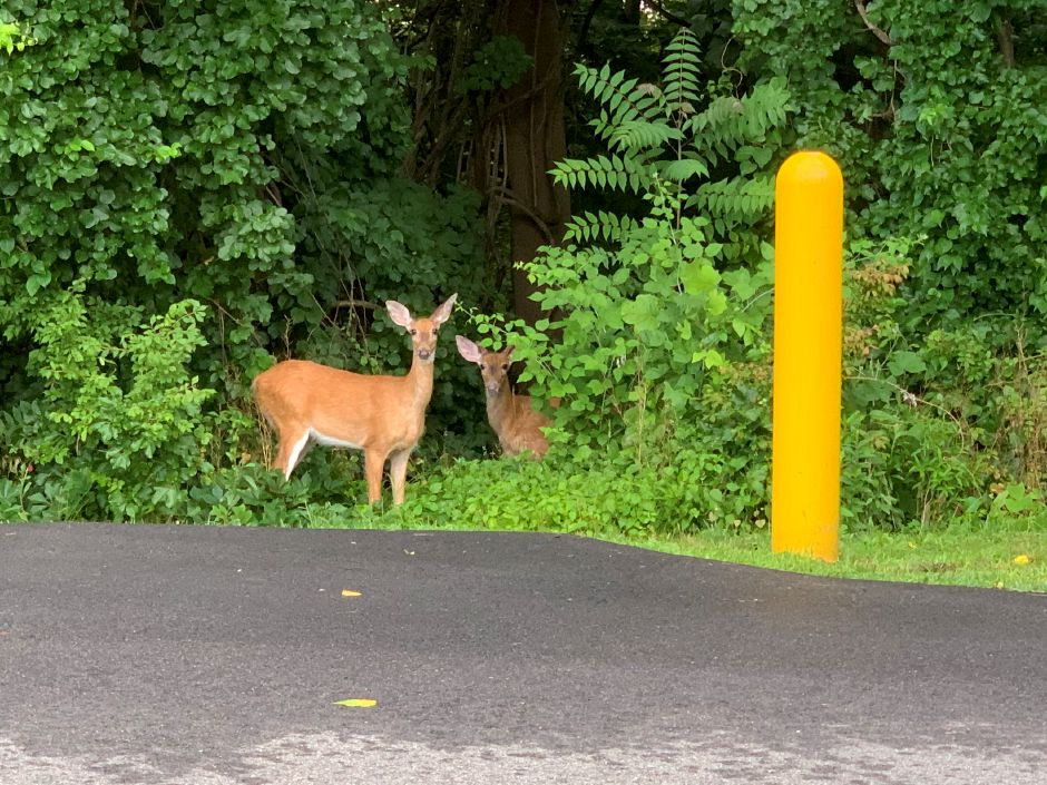 A pair of deer peek through an opening after scampering through the parking lot at 500 S. Broad St. in Meriden July 8, 2020. | Richie Rathsack, Record-Journal