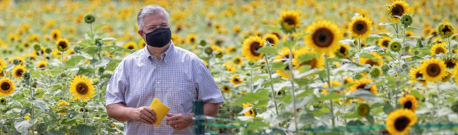 "David Camputo, of Newtown, finds his way through the Lyman Orchards Sunflower Maze, Fri., Jul. 31, 2020. More than 350,000 red and yellow sunflowers are in bloom at the 14th Annual Lyman Orchards Sunflower Maze. This year's theme is ""Back in Space"" — featuring space facts, trivia and clues. Dave Zajac, Record-Journal"