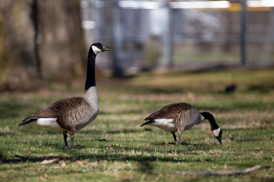 A pair of Canada geese forage through the grass at Habershon Field in Meriden April 23, 2018. | Richie Rathsack, Record-Journal