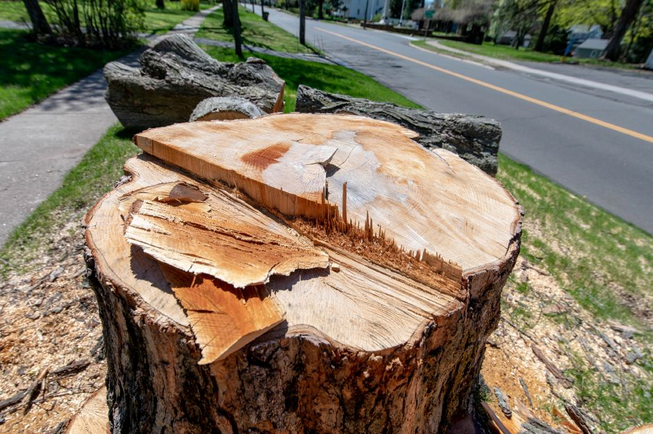Numerous tree stumps now line Worthington Ridge, which residents say was known for its canopy. Power utility company Eversource said regular cullings are needed to prevent damage to power lines. | Devin Leith-Yessian/Berlin Citizen