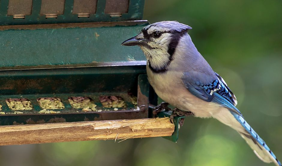 A blue jay visits a bird feeder at the Quinnipiac Valley Audubon Society Riverbound Farm Sanctuary in Cheshire. This year's Great Backyard Bird Count is Feb. 12-15. Read Mike Roberts' Woods 'N' Water column and visit birdcount.org for details. Dave Zajac, Record-Journal