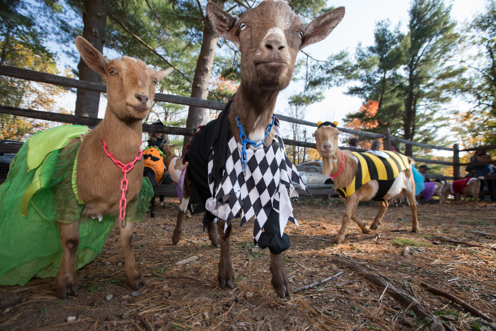 Above: The goats are dressed and ready for the Goats and Goblins Parade on Sunday at Bradley Mountain Soaps in Southington. It was the farm's first Halloween event, and owners hope to make it a tradition. Right: Sophie Pace, 2, holds out treats for the goats.Story on Page A3.| Photos by Justin Weekes Special to the Record-Journal