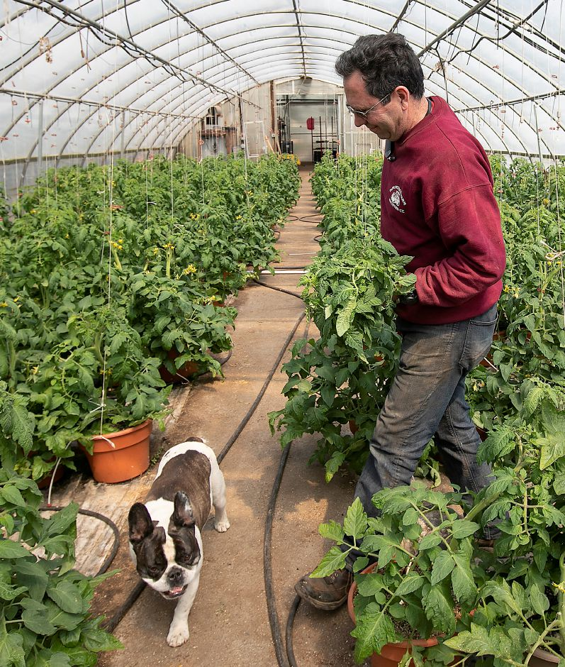 "Joe DeFrancesco III tends to tomato plants on Thursday as French bulldog ""Ozzy"" patrols a path in a greenhouse at DeFrancesco Farms in Northford.  Dave Zajac, Record-Journal"