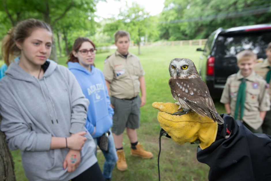 "A Northern Saw-Whet Owl named ""Higgins"" Sunday during the Quinnipiac River Trail celebration at the Quinnipiac River Watershed in Meriden May 31, 2016 