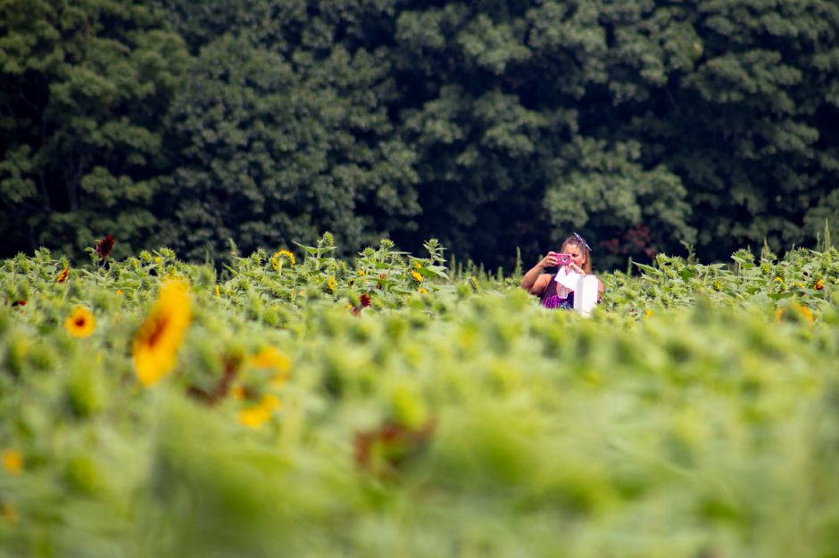 Lisa Brown of Branford takes a picture while standing in the sea of sunflowers at the Lyman Orchard Sunflower Maze July 30, 2018. | Richie Rathsack, Record-Journal