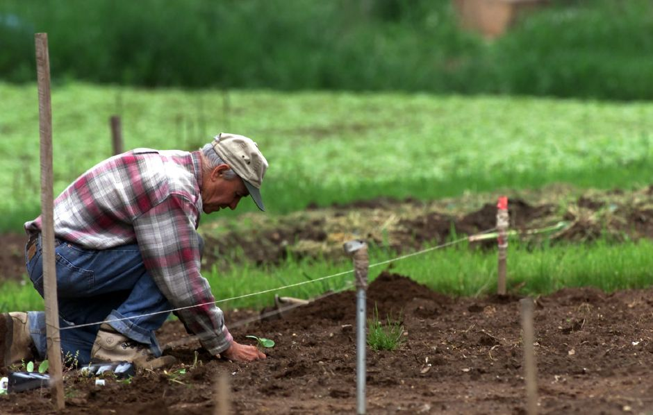 Joe Giza works in the garden he has tended to for the past 8 years at Community Gardens in Southington on Monday afternoon May 21, 2000.