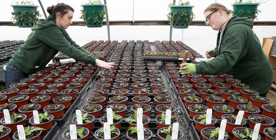 Associate growers Savannah Martin, left, and Hannah Winzler pot SunPatiens at Winterberry Gardens in Southington, Wed., Mar. 25, 2020. Dave Zajac, Record-Journal
