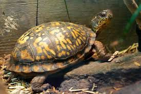 Eastern box turtle.