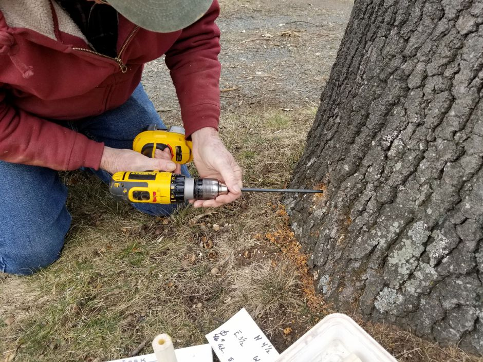 Walt Brockett uses a method of coring to sample the interior of a tree in order to determine its health.