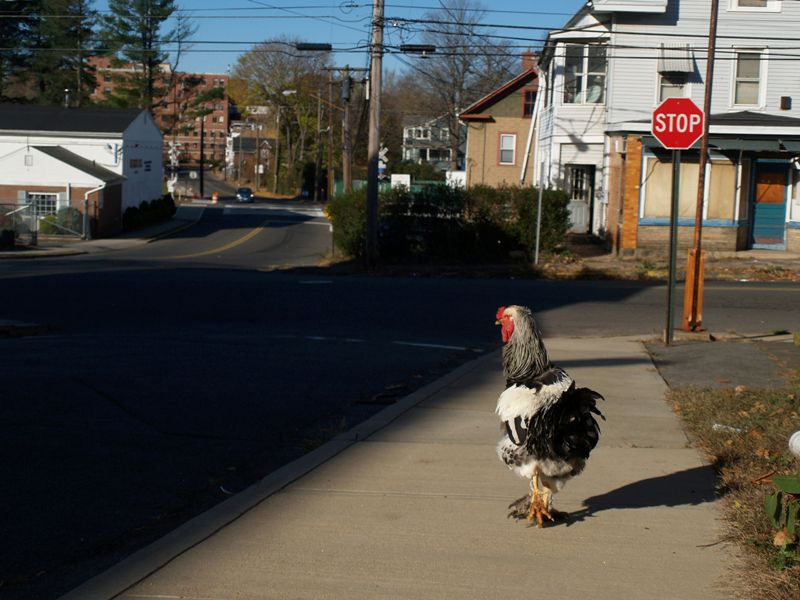 A wayward rooster casts a wary eye on oncoming traffic from the sidewalk of Grant Street in Meriden Tuesday morning Nov. 6, 2012. | Richie Rathsack/Record-Journal