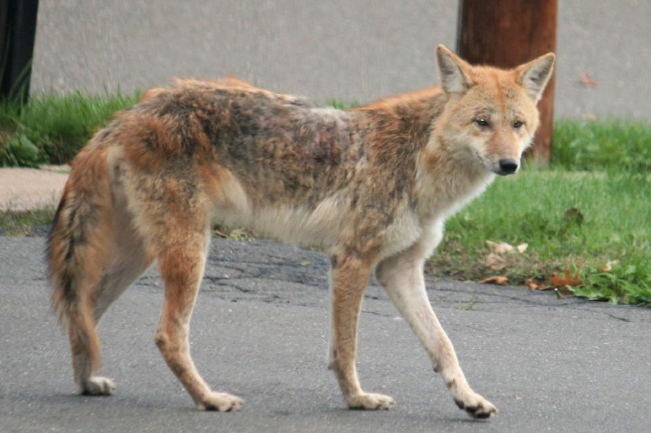 Even in Meriden, a coyote is not an uncommon sighting. File photo