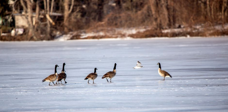 A group of Canada Geese keep an eye on a passing gull as they walk across the ice at North Farms Reservoir in Wallingford Feb. 26, 2021. | Richie Rathsack, Record-Journal
