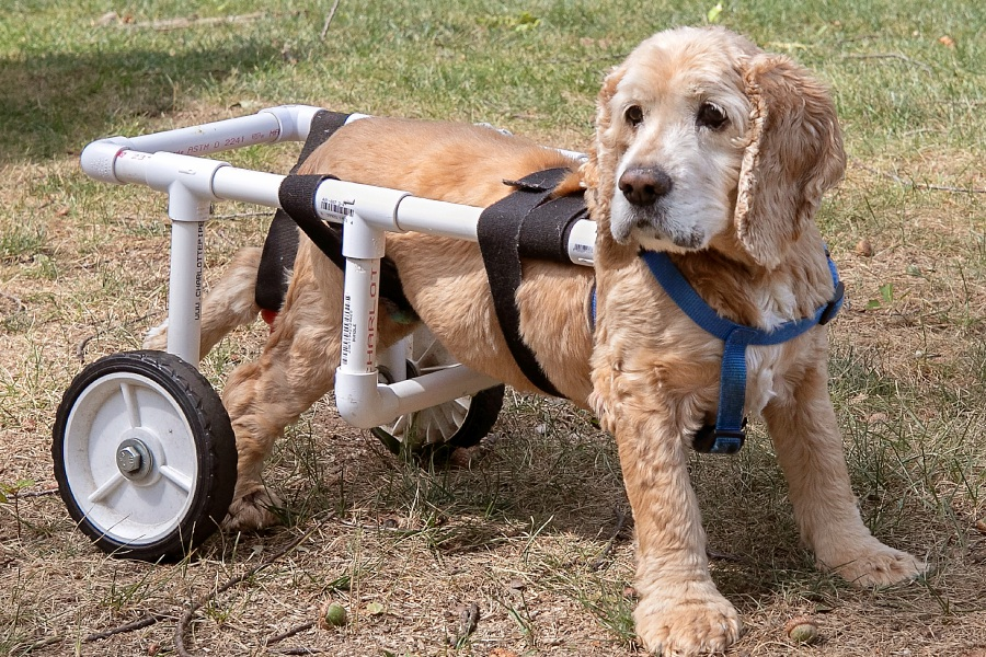 Rocky, a 12-year-old cocker spaniel owned by Peggy Cameron, of Southington, wears a custom-fit dog wheelchair designed by her son, Chris Cameron. The wheelchair, made from PVC piping, helps Rocky get around after he lost the use of his left back paw. Dave Zajac, Record-Journal
