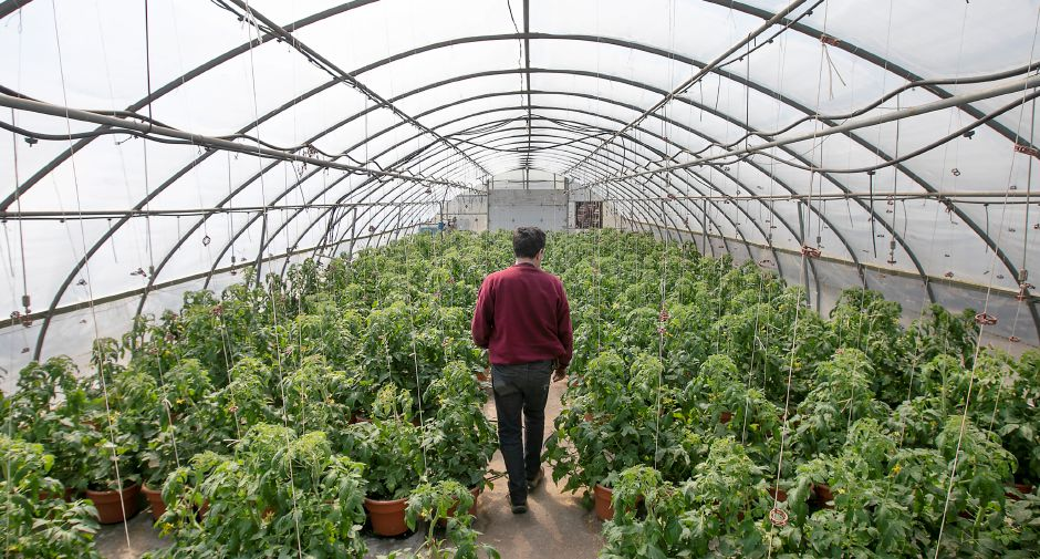 "Joe DeFrancesco III looks over tomato plants in a greenhouse at DeFrancesco Farms in Northford, Thurs., Mar. 26, 2020. Businesses across the state are worried about the impact of the coronavirus, even the ones considered ""essential"" like farmers' markets and garden centers. Dave Zajac, Record-Journal"