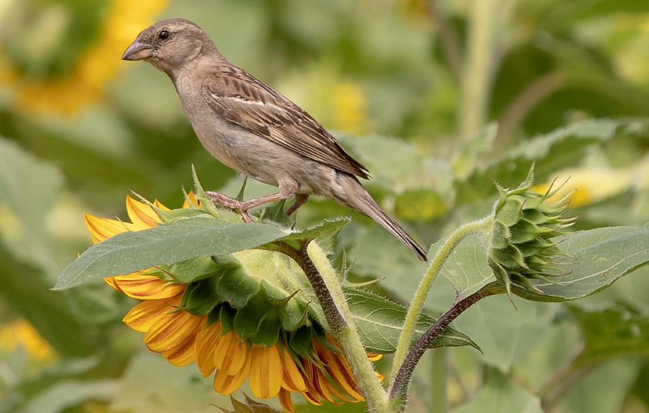 "A house sparrow visits the Lyman Orchards Sunflower Maze, Fri., Jul. 31, 2020. More than 350,000 red and yellow sunflowers are in bloom at the 14th Annual Lyman Orchards Sunflower Maze. This year's theme is ""Back in Space"" — featuring space facts, trivia and clues. Dave Zajac, Record-Journal"